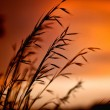 Wheat on sunset — Stock Photo