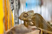 Chameleon chancing color — Stock Photo