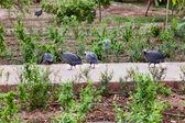 Guinea Fowl — Stock Photo
