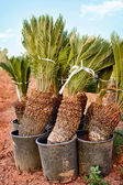 Palm tree ready for planting — Stock Photo