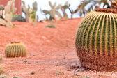 Barrel Cactus Garden — Stock Photo