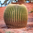 Huge barrel cactus In desert — Stock Photo