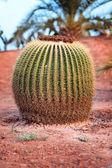 Huge barrel cactus In desert — Stock Photo