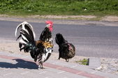 The cock and hen - courtship — Stock Photo