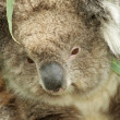 Koala portrait closeup — Stock Photo