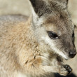 Wallaby closeup — Stockfoto