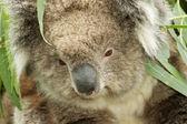 Koala portrait closeup — Stock Photo