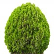 Green beautiful bush — Stock Photo