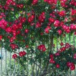 Rose bush — Stock Photo #7979491