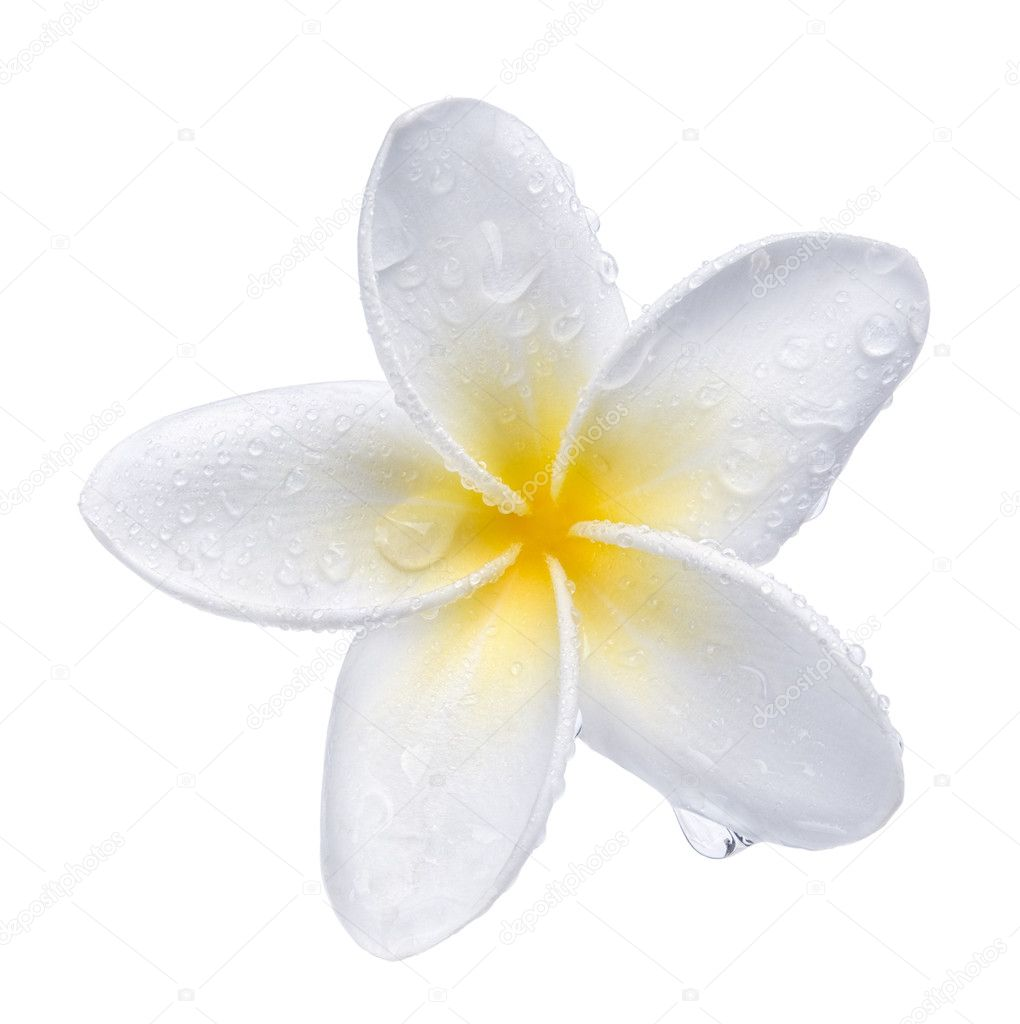 Frangipani plumeria Spa Flower isolated on white — Stock Photo #8184611