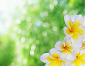 Beautiful natural bokeh and frangipani — Stock Photo