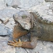 Head and shoulders of a land iguana in Guayaquil, Ecuador — Stock Photo