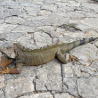 A land iguana in Guayaquil, Ecuador - Stock Photo