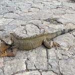 A land iguana in Guayaquil, Ecuador — Stock Photo