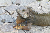 Head and shoulders of a land iguana in Guayaquil, Ecuador — Stok fotoğraf