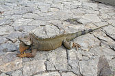 A land iguana in Guayaquil, Ecuador — Photo