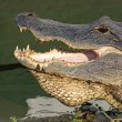 Head of an American alligator — Stockfoto