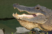 Head of an American alligator — Stock Photo