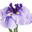 Purple and white flower of a Japanese iris — Stock Photo