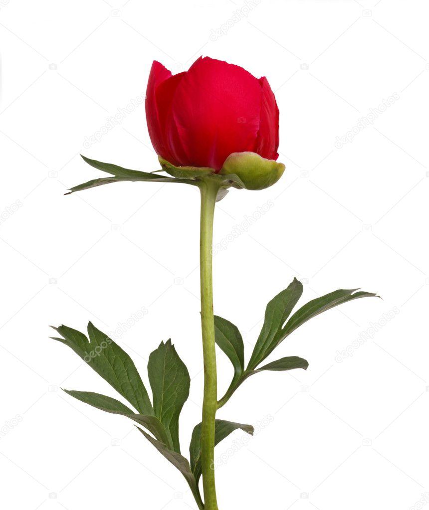Rode pioenroos bloem en steel — stockfoto © sgoodwin4813 #8756502