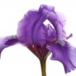 Purple flower of a dwarf bearded iris — Stock Photo
