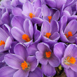 Clump of purple crocus flowers — Stock Photo