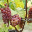 Red grapes — Stock Photo #9796988
