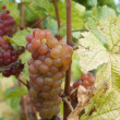 Red grapes — Stock Photo #9797067