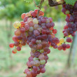 Red grapes — Stock Photo #9797079