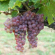 Red grapes — Stock Photo #9797123
