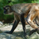 Spider-monkey — Stock Photo