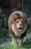 Porträt eines löwen — Stockfoto