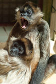 Spider-monkey — Stock Photo