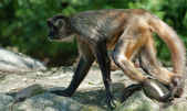 Spider-monkey — Foto Stock