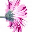 Stock Photo: Pink Gerbera Flower from the Back