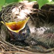 Baby Robins in Nest — Stock Photo #9006738