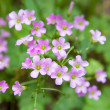 Pink oxalis(Oxalis corymbosa) — Stock Photo