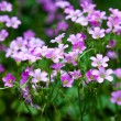 Pink oxalis(Oxalis corymbosa) in garden — Stock Photo