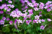 Pink oxalis(Oxalis corymbosa) in garden — Photo