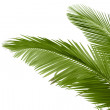 Leaves of palm tree — Stock Photo #8063068