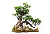 Evergreen bonsai on white — Stock Photo