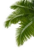 Palmiye ağacının yaprakları — Stok fotoğraf