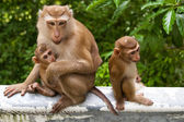 Wild monkey with a baby — Stock Photo
