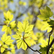 Close-up of spring maple leaves — Stock Photo