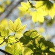 Close-up of spring maple leaves - Stock Photo
