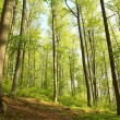 Spring beech forest — Stock Photo #10389695