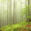 Spring beech forest - Stock Photo