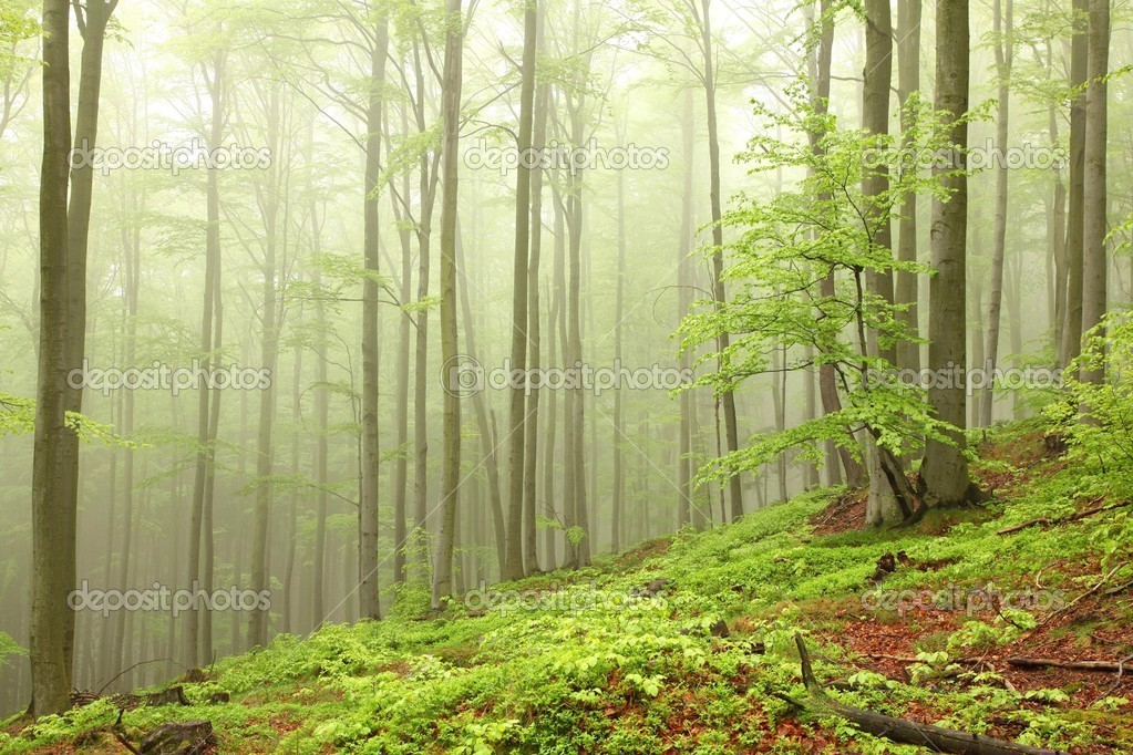 Landscape of beech forest on a foggy spring morning. — Stock Photo #10425756