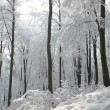 Winter beech forest — Stock Photo