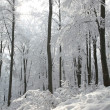Stock Photo: Winter beech forest